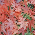 Japanese_Maple_Leaves_800x600-150x150